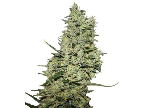Critical XL Feminized Seeds