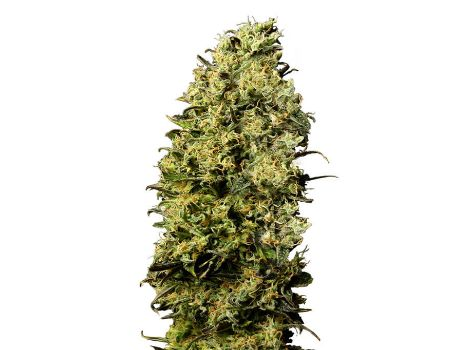 Mate Feminized Seeds