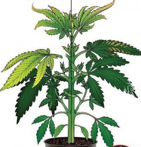 Cannabis Boron Deficiency