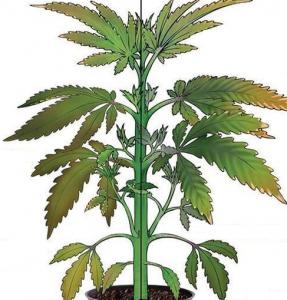 Cannabis Chlorine Deficiency