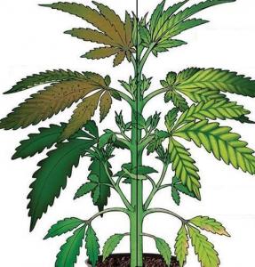 Cannabis Iron Deficiency