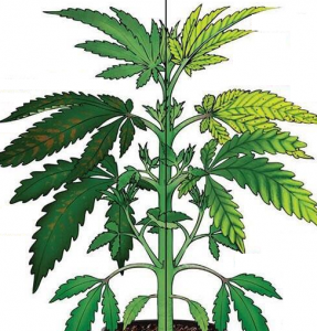 Cannabis Manganese Deficiency