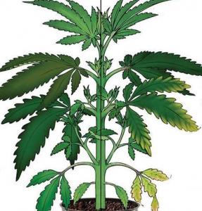 Cannabis Molybdenum Deficiency