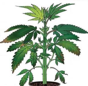 Cannabis Phosphorus Deficiency