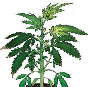 Cannabis Sulfur Deficiency