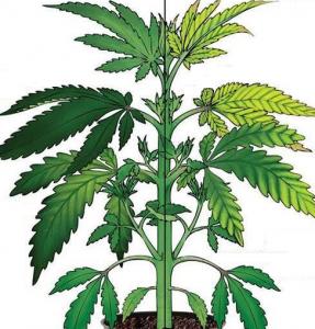 Cannabis Zinc Deficiency